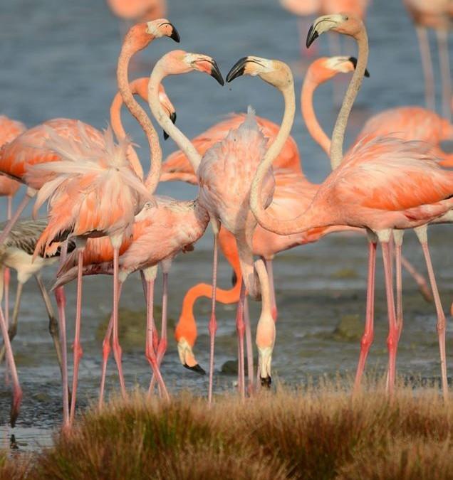 Lac Bay's Flamingos